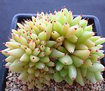 묵은골드샤치철화 M05_429|Echeveria agavoides f.cristata Echeveria