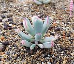 원종복랑금5두자연군생|Cotyledon orbiculata cv variegated