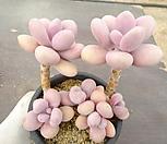 아메치스 35-236|Graptopetalum amethystinum