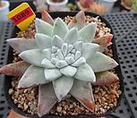 일본화이트그리니(분채배송)5-1089|Dudleya White gnoma(White greenii / White sprite)