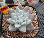 일본화이트그리니(분채배송)5-1096|Dudleya White gnoma(White greenii / White sprite)