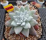 일본화이트그리니(분채배송)5-1123|Dudleya White gnoma(White greenii / White sprite)