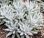 화이트그리니 8105-1982|Dudleya White gnoma(White greenii / White sprite)