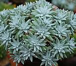 화이트그리니32(35두)|Dudleya White gnoma(White greenii / White sprite)