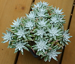 화이트그리니92(22두분지중)|Dudleya White gnoma(White greenii / White sprite)
