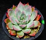 콜로라타브랜티41 Echeveria Colorata fma Brandtii