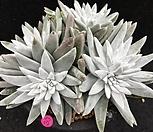 화이트그리니 10두 적심|Dudleya White gnoma(White greenii / White sprite)
