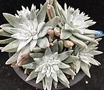 화이트그리니 9두 적심|Dudleya White gnoma(White greenii / White sprite)