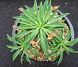 괴마옥0518|Euphorbia hypogaea