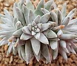 화이트그리니5두 5272|Dudleya White gnoma(White greenii / White sprite)