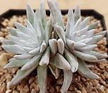 화이트그리니2두 5278|Dudleya White gnoma(White greenii / White sprite)