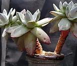 환엽블러프레쳐스520-5 Dudleya farinosa Bluff Lettuce