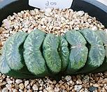옥선 05198|Haworthia truncata