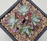 화이트그리니4두|Dudleya White gnoma(White greenii / White sprite)