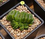 옥선(그린)|Haworthia truncata