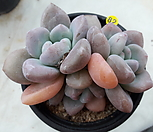 오팔리나3두_82|Graptoveria Opalina