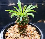 괴마옥 519-18|Euphorbia hypogaea
