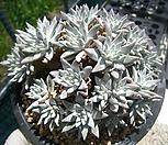 화이트그리니(30두로분지)0519|Dudleya White gnoma(White greenii / White sprite)