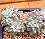 화이트그리니3 (5두한몸묵은둥이) X051903|Dudleya White gnoma(White greenii / White sprite)