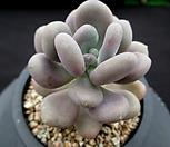 월미인 5-517|Pachyphytum oviferum Tsukibijin
