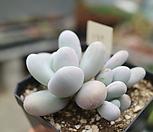 문스톤자연군생839 Pachyphytum Oviferum Moon Stone