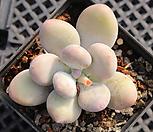 홍미인 묵은둥이 8106|Pachyphytum ovefeum cv. momobijin