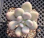 홍미인 묵은둥이 8711|Pachyphytum ovefeum cv. momobijin