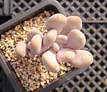 홍미인 묵은둥이 자연군생 6039|Pachyphytum ovefeum cv. momobijin