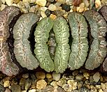 Haworthia truncata (옥선 선별종-대묘5.19)|Haworthia truncata