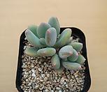 스윗캔디-0518-11 Pachyphytum Doctor Cornelius