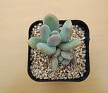 스윗캔디-0518-12 Pachyphytum Doctor Cornelius