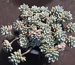 라울  [대품 한몸 ] Sedum Clavatum