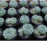 휴밀리스(랜덤발송) Echeveria hughmillus