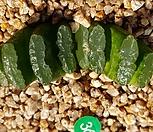 옥선|Haworthia truncata