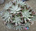 묵은화이트그리니자연군생25두목대짱|Dudleya White gnoma(White greenii / White sprite)