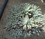 묵은화이트그리니자연군생32두(목대짱)|Dudleya White gnoma(White greenii / White sprite)