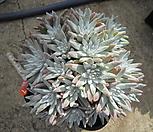 묵은화이트그리니자연군생27두(목대짱)|Dudleya White gnoma(White greenii / White sprite)