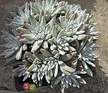 묵은화이트그리니자연군생30두(목대짱)|Dudleya White gnoma(White greenii / White sprite)
