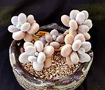 문스톤 /묵은둥이 자연군생 Pachyphytum Oviferum Moon Stone