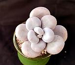 홍미인/수입 오리지널,목대 짱짱해요|Pachyphytum ovefeum cv. momobijin