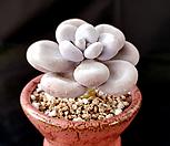 홍미인/수입 오리지널,목대|Pachyphytum ovefeum cv. momobijin