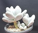문스톤자연군생|Pachyphytum Oviferum Moon Stone