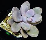 아메치스1|Graptopetalum amethystinum