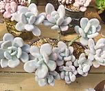 묵은 달마미인목대모듬(합식/초특가)|Pachyphytum oviferum