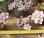 묵은 아메치스(한몸목대)-45|Graptopetalum amethystinum