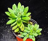 천대전송51 Pachyphytum compactum
