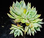 콜로라타브랜티hy59 Echeveria Colorata fma Brandtii