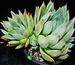 콜로라타브랜티hy60 Echeveria Colorata fma Brandtii