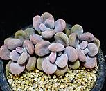 아메치스63|Graptopetalum amethystinum