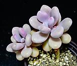 아메치스71|Graptopetalum amethystinum